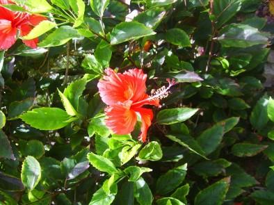 Цветущий гибискус