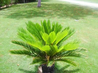 Мини-пальма
