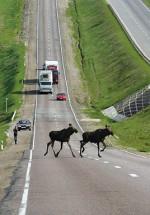Чем грозит, и что делать, если на автомобиле сбил лося, кабана, оленя или даже медведя